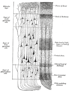 A representative column of neocortex